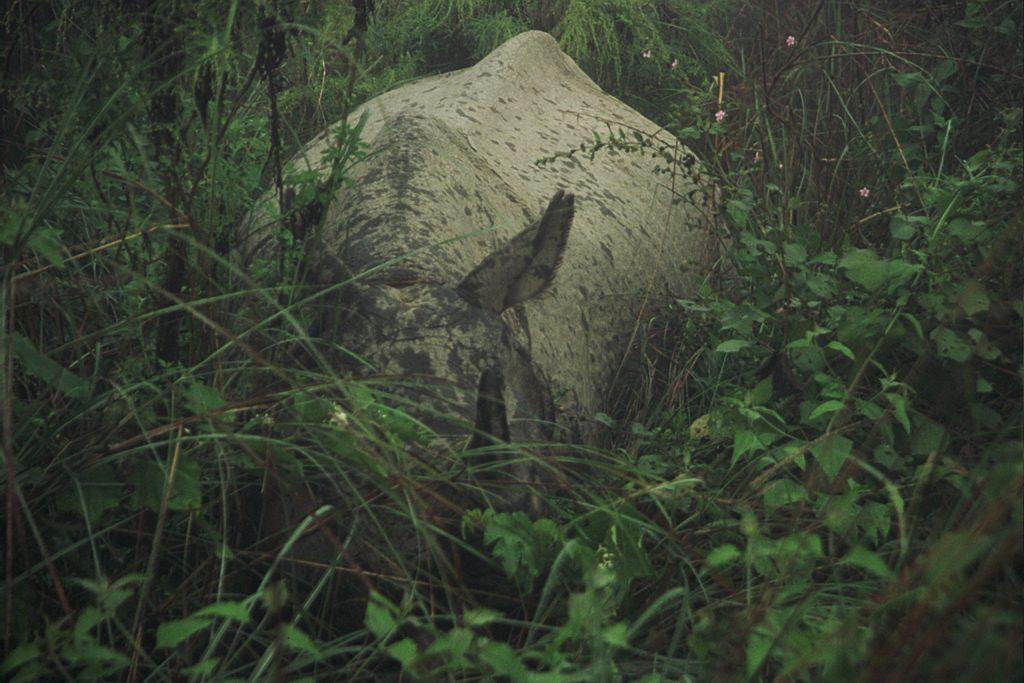 A rhino amongst chromolaena