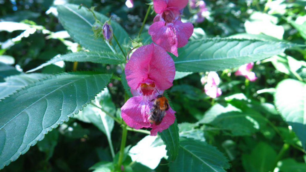 Close up of Himalayan Balsam flower with a bee on it.
