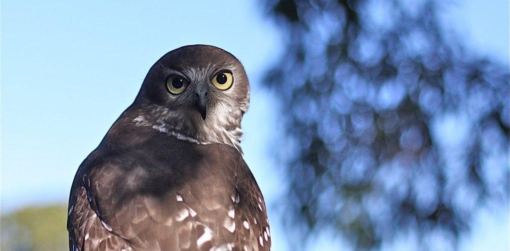 A barking owl