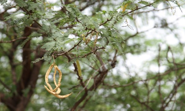 Prosopis tree branches with yellow seed pods hanging from them.