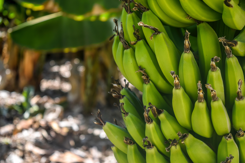 banana-banana-tree-bananas-802783.jpg