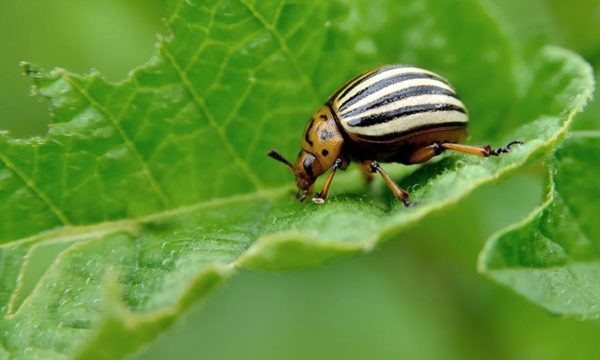 Colorado beetle eats potato leaves. Pests destroy a crop in the field. Parasites in wildlife and agriculture. Asia Pacific Regional Consultation 2018 China