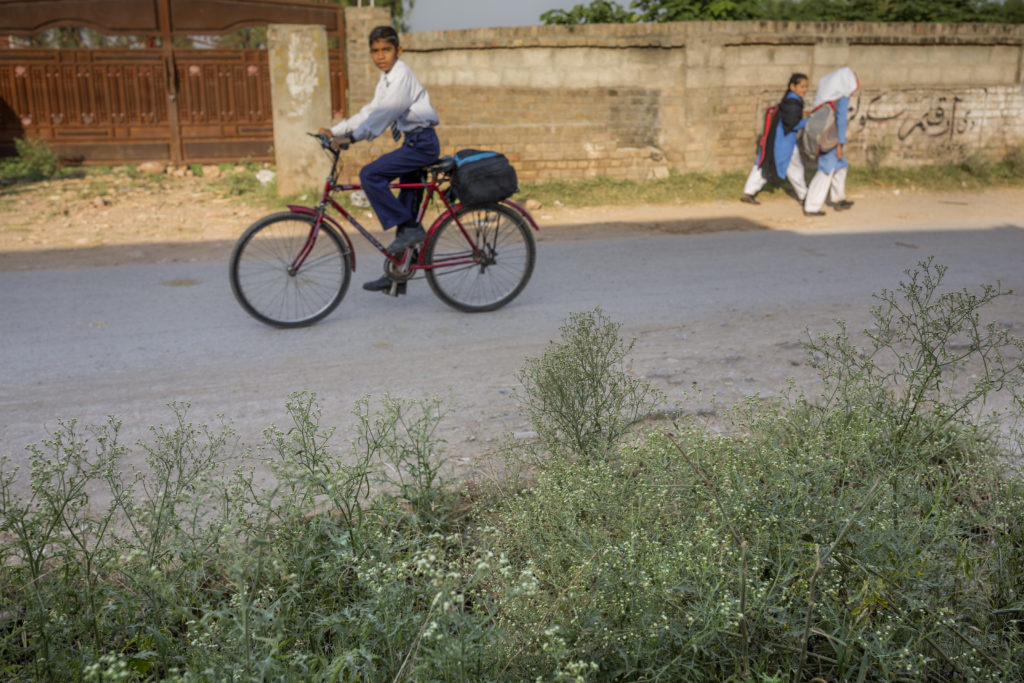 School children cycle and walk to school with parthenium visible along the roadside.