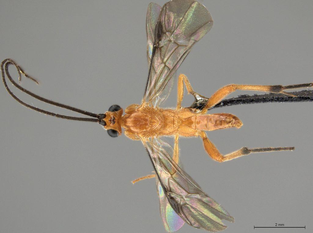 Coccygidium luteum (Brullé)