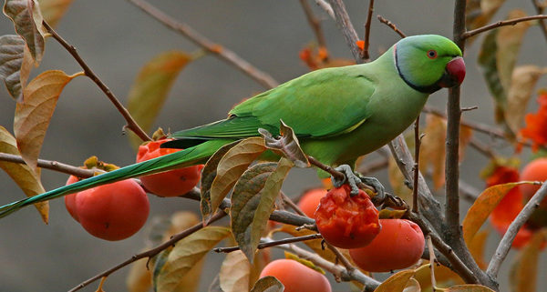 Parakeet eats fruit from a tree