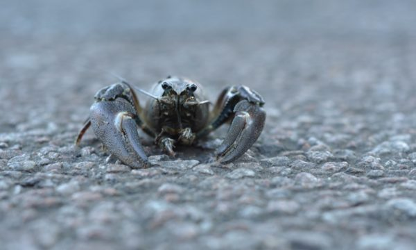 An (invasive) signal crayfish, Pacifastacus leniusculus, crossing a road in Oxford.