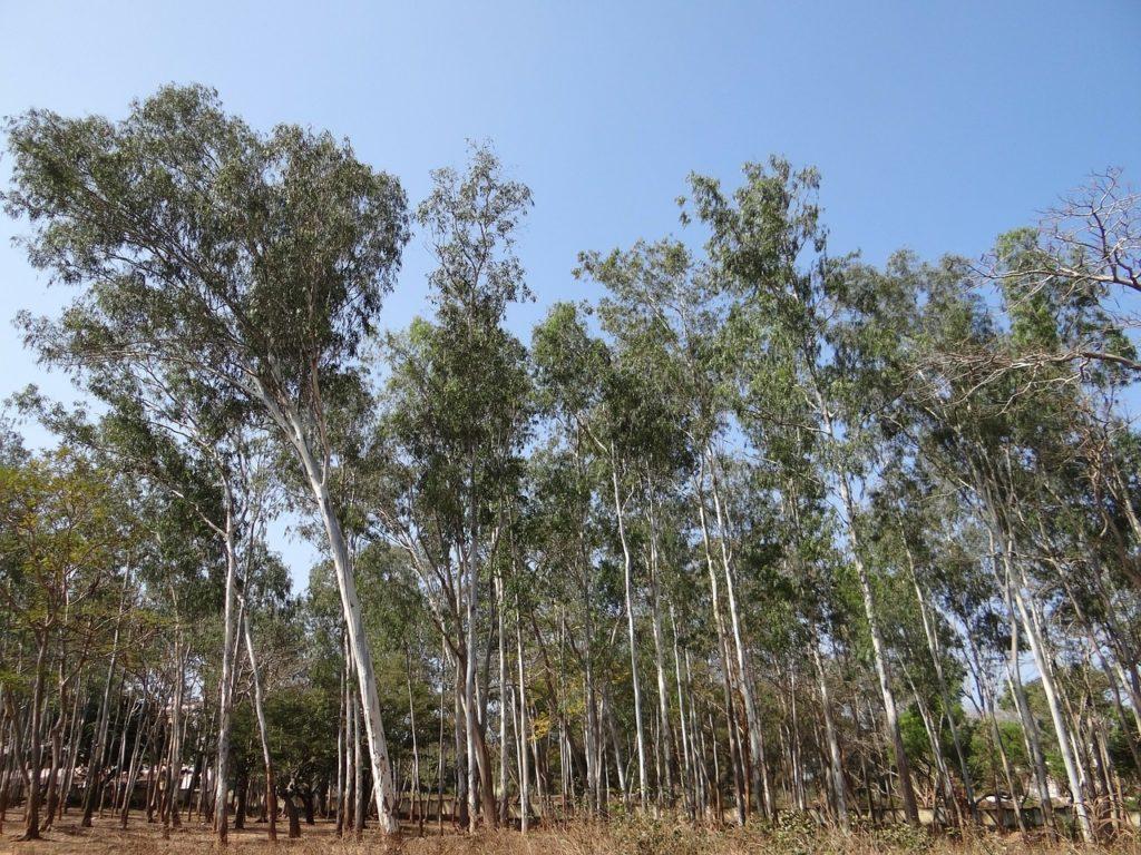 Wooded area of Eucalyptus trees