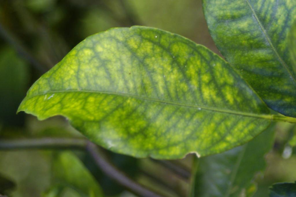 Citrus greening leaf symptoms - yellow mottling