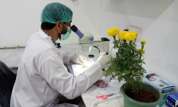 Dr Kazam Ali examining Tagetes erecta plant species for any eggs