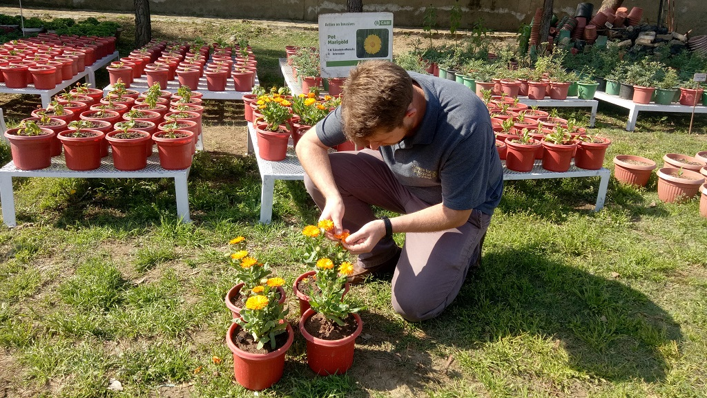 Dr Philip Weyl selecting the Calendula officinalis plants for testing