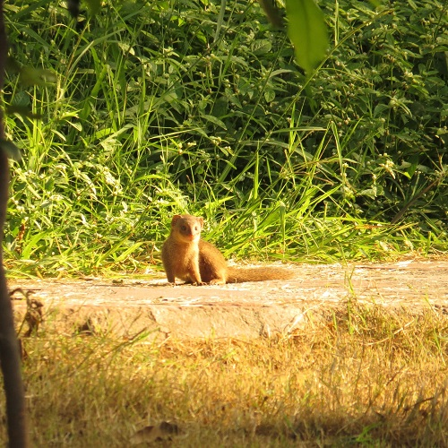 A small Indian mongoose photographed from a distance