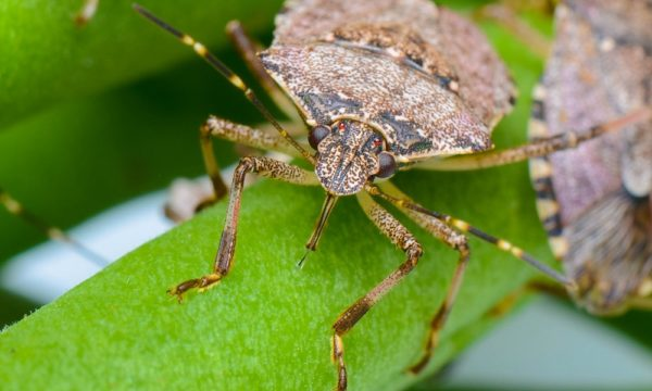Halyomorpha halys brown marmorated stink bug on leaf