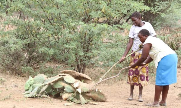 women clear invasive prickly pear with invasive prosopis in the background