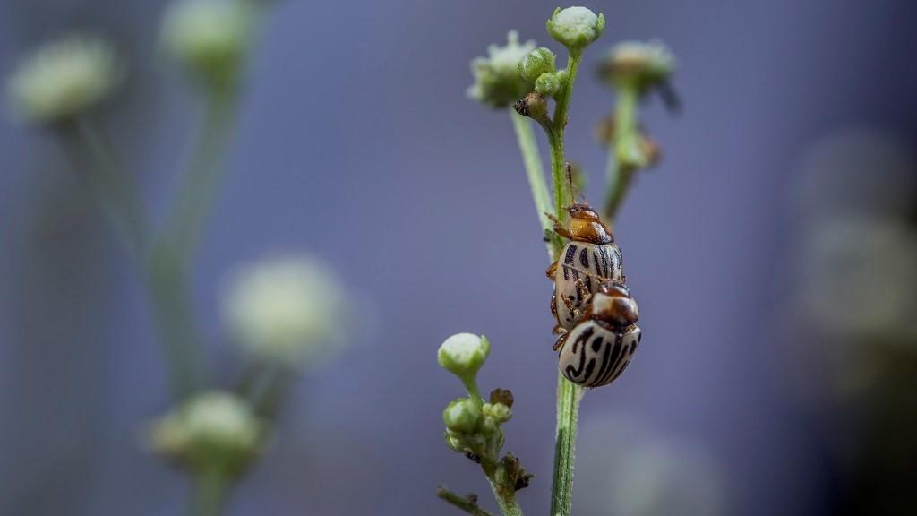Zygogramma beetles on parthenium in Pakistan