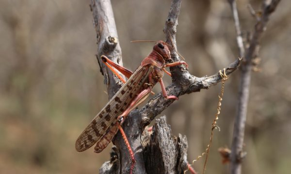 desert locust alone in a tree