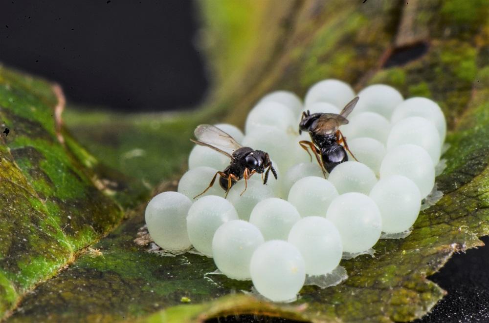 Trissolcus parasitoids attacking halyomorpha eggs