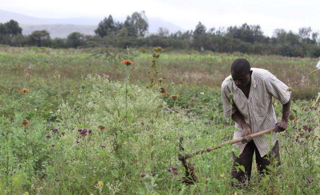 Man weeding a field